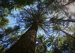 Colossus (annazelei) Tags: tree sky green natura naturaleza flora plant picea abies wood forest woods high lights trees leaves eos outdoor summer old giant capital timber greenwood greenery herbal pinaceae