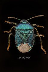 Blaugrüne Baumwanze (Zicrona caerulea) (Makrotreff) Tags: focusstacking focusstack stacking ultra macro laowa 25mm makrofotografie makro makrofoto macrophotography natur nature naturfotografie bug baumwanze