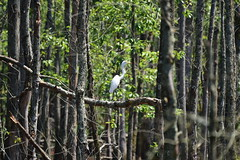 Egret_1144 (Porch Dog) Tags: 2018 garywhittington nikond750 nikkor200500mm kentucky wildlife nature july summer