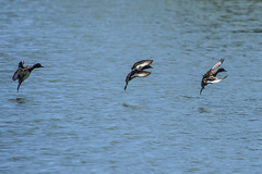 watering manoeuvres (the-father) Tags: duck flight water landing