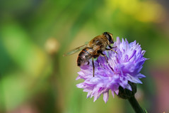 Just a bee (Wim van Bezouw) Tags: sony ilce7m2 bee insect flower nature macro