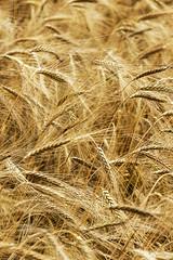 Grano (DarioMarulli) Tags: grano d3200 nikon giallo dorato prato natura laquila abruzzo allaperto