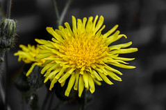 Dandelion (Taraxacum officinale) (Marco van Beek) Tags: flower nature focus macro close up yellow dandelion taraxacum officinale holland europe beautiful world nikon d5000 afs dx nikkor 18200mm f3556g ed vr ii details