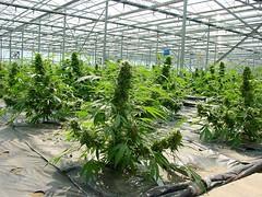 critical-mass_2197_4_ (Watcher1999) Tags: cannabis seed california medical cannabism marijuana seeds growing bob marley weed smoking reggae ganja legalize it