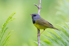 Mourning Warbler. (mandokid1) Tags: canon 1dx ef600mm11 birds warblers