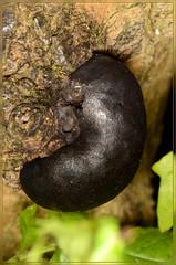 King Alfreds cake rare daldinia laculata (2) (bobspicturebox) Tags: himalayan balsam lady bird bugs slow worm musk beetle potato capsid shield bug larva snail fungus