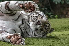 It's ok I won't hurt you. I just wanna play with yo a little (Paul Wrights Reserved) Tags: whitetiger tiger tigers bigcat cat cats wildlife wildanimal wildlifephotography zoo loropark tenerife feline eyes eye paw paws stripes ear fur cuddly animal animals