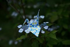 Paper Crane and Hydrangea serrata var. thunbergii (Eridanus 21) Tags: ツルとアマチャ hydrangea serrata origami おりがみ ツル 折り紙 折り鶴 アマチャ paper origamiphoto 花 flower 花写真 flowerphotoアマチャ hydrangeaserrata papercrane flowerphoto 花が好き