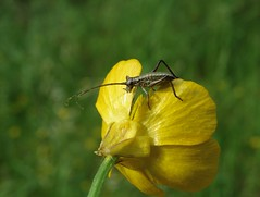 Ephippiger nymph! (rockwolf) Tags: ephippigersp orthoptera sauterelle nymph buttercup insect forêtdefontainebleau france 2018 rockwolf