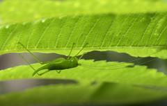 Speckled-bush-cricket_0567 copy (Peter Warne-Epping Forest) Tags: specledbushcricket insect cricket peterwarne leptophyespunctatissima uk