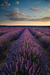 Lanvender Field at sunset (Palnick) Tags: field lavender valensole provence colorful violet france purple french lavande fragrance countryside summer aromatherapy blooming plant landscape fragrant flower blue beautiful scent scenic plateau nature provencealpescote beauty scented blossom herbal perfume europe natural lines rural lavander color alpesdehauteprovence sunset aroma lavendin floral tree herb azur nobody sunny bloom harvest outdoor