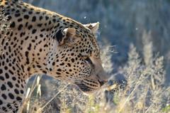 DSC_4325 (Andrew Nakamura) Tags: namibia africa windhoek wildlife animal mammal felidae bigcat leopard africanleopard felid naankuse wildlifesanctuary