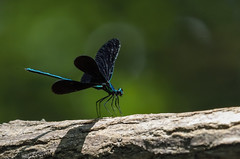 Ebony Jewelwing Damselfly. (Estrada77) Tags: dragonfly insects wildlife jun2018 summer2018 outdoors nikon nikond500200500mm d500 kanecounty