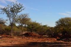 DSC_3397 (Andrew Nakamura) Tags: namibia otjiwarongo projectdragonfly earthexpeditions waterbergconservancy cheetahconservationfund bushblok charcoalproduction