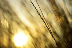 And the wind cries (alideniese) Tags: wind grass blowing flora nature 7dwf freetheme sun sunset sunshine sundown evening dusk bokeh macro closeup movement motion blur alideniese golden colour light warmth beach coastal beachgrass portmelbourne victoria australia