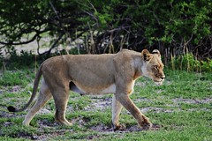 Lioness Searching For Pride (Panthera leo) (Susan Roehl) Tags: botswana2013 centralkalaharigamereserve botswana southernafrica lion lioness pantheraleo animal mammal predator carnivore muscular deepchested liveinprides apex keystonespecies sometimesscavenge grasslands savannahs vulnerable declined43percentsincethe1990s habitatloss conflictwithhumans sueroehl photographictours naturalhabitatadventures pentaxk3 sigma150500mmlens handheld slightlycropped coth5 ngc npc