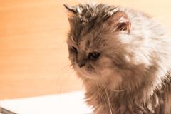 Cat (akk_rus) Tags: marcello persian cat cats pet pets chat chats animal animals nature feline gato кот коты кошка chinchilla tamronspaf90mmf28dimacro tamron 90mm f28 nikon d800 nikond800