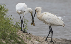 Spoonbill - Play is a sign of intelligence (Ann and Chris) Tags: spoonbill wildlife avian amazing animal bird birdphotography nature lake beak canon7dmarkii pair play