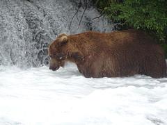 DSC07593 (jrucker94) Tags: alaska katmai katmainationalpark nationalpark bear bears grizzly grizzlybear brooksriver nature outdoors