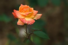 Roseraie de Rosheim -4- (mamietherese1) Tags: coth ngc coth5 world100f earthmarvels50earthfaves rose fabuleuse