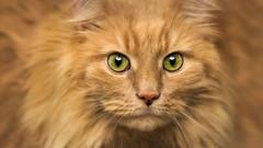 Suzy.jpg (___INFINITY___) Tags: 6d animal canon cat darrenwright dazza1040 eos eyes infinity portrait