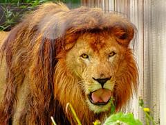 Omar - Grass Tasting 7 (Rasenche) Tags: animal carnivore cat mammal bigcat annapaulowna stichtingleeuw lion