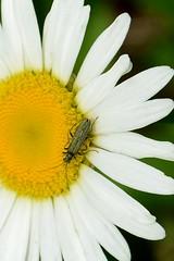 Magerite Käfer (tama*) Tags: wildnisgarten wildpflanzen käfer