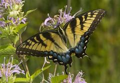 Eastern Tiger Swallowtail, female (Papilio glaucus) (AllHarts) Tags: femaleeasterntigerswallowtailpapilioglaucus spac hollyspringsms naturesspirit thesunshinegroup butterflygallery nationalgeographic coth coth5 iwidhidtakenthat bestofiwishidtakenthat
