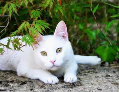 Monday Face (SpitMcGee) Tags: sam kater cat pet garten garden freigang mondayface spitmcgee