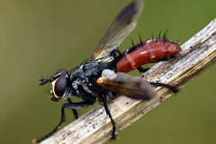 1078_red_fly (Realmantis) Tags: animal bug closeup insect invertebrate macro nature fly mouche