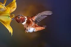 My Firecracker!!! (Patricia Ware) Tags: 500mmf4lisusm allenshummingbird alstroemeria backyard birdsinflight california canon manhattanbeach multipleflash selasphorussasin tripod ©2018patriciawareallrightsreserved specanimal sunrays5
