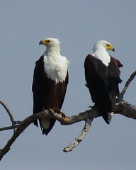 Fish Eagles - the Pair (Visarende (Pixi2011) Tags: birds birdsofprey krugernationalpark africa nature