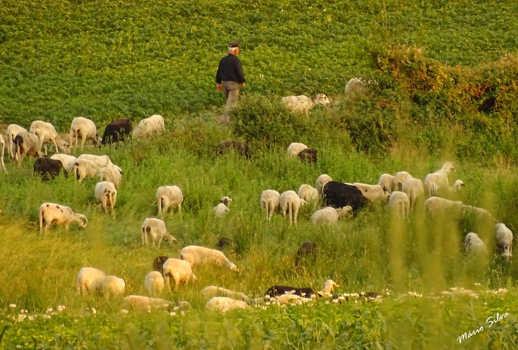 Águas Frias (Chaves) - ... o pastor e o seu rebanho a pastar ...