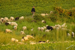 Águas Frias (Chaves) - ... o pastor e o seu rebanho a pastar ... (Mário Silva) Tags: aldeia águasfrias chaves trásosmontes portugal ilustrarportugal madeinportugal lumbudus máriosilva julho 2018 verão pastor rebanho ovelhas ovelha pastar