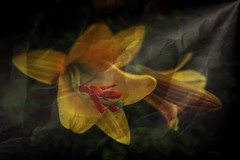 Lily ... (Julie Greg) Tags: flower flowers nature fujifilmxt20 fujifilm colours texture light park garden lily