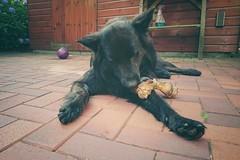 Birthday present 🎁 (Jos Mecklenfeld) Tags: totoro dutchshepherd dutchshepherddog hollandseherdershond hollandseherder shepherddog shepherd herder herdershond dog hond birthday verjaardag sonyxperiaz5 xperia