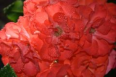 DSC_7208 (griecocathy) Tags: bouquet rose gouttelette eau feuille coeur éclat lumineux brillance orange vert macro