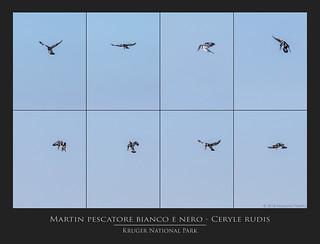 Martin pescatore bianco e nero - Ceryle rudis @Kruger National Park South Africa, collage of 8 shoots