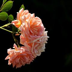 Rose (42jph) Tags: nikon d7200 stratford upon avon stratforduponavon uk england warwickshire halls croft shakespeare daughter rose flower bloom pink