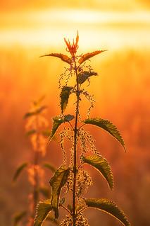 Brennessel im goldenen Licht