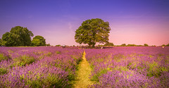 Mayfield Lavender Farm (Dhina A) Tags: sony a7rii ilce7rm2 a7r2 a7r fe 24105mm f4 sonyfe24105mmf4 zoom lens bokeh sharp mayfield lavender farm sutton surrey london sel24105g