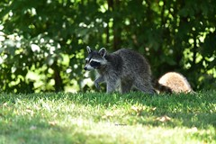 Raccoon_1136e (Porch Dog) Tags: 2018 garywhittington nikond750 nikkor200500mm kentucky wildlife nature july summer