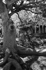 Mighty Ficus (IggyRox) Tags: usa america florida southeast beauty film 35mm tropics blackandwhite jepthavinningharrisschool school ficus large old abandoned tree roots margaretstreet southardstreet conchrepublic southernmost light shadows building monroecounty duvalstreet