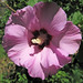 Hibiscus sp. (rose mallow) (Newark, Ohio, USA) 10