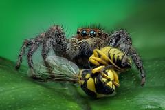 el aperitivo II (quenoteam) Tags: stacking macro extremo araña spider