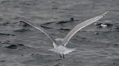 Kumlien's Gull (Larus glaucoides kumlieni) 02-10-2018 pelagic, Worcester Co. MD 11 (Birder20714) Tags: birds maryland gulls laridae larus glaucoides kumlieni