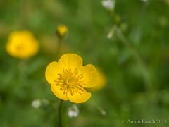G81_01_P1020159 (Thorndike.ar) Tags: butterblume cologne deutschland europa europe flora germany köln nordrheinwestfalen northrhinewestphalia