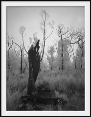 statue (Andrew C Wallace) Tags: tree burnt statue ir infrared gariwerd grampiansnationalpark victoria australia thephotontrap microfourthirds m43 olympusomdem5 720nm blackandwhite bw