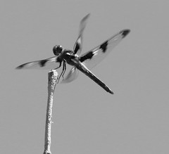 En mouvement (jlp771) Tags: insect dragonfly mouvement wings ailes canon 80d sigma