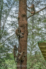 Monkeys in a tree (per.svensson@mac.com) Tags: wood monkey curious mammal coastalforests outdoor background animal wildlife tree summer wild scenery beautiful primate forest singapore park outdoors green nature landscape coneyisland environment sg